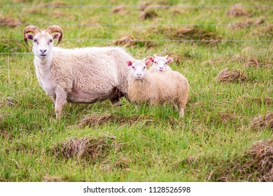 Icelandic Sheep - Momma with two babies - Iceland