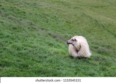 Icelandic sheep on meadow