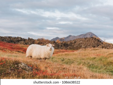 Icelandic sheep on a pasture in Iceland with a mountain in the background