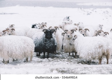 Icelandic sheep roaming in the winter snowy field,beyond their season. Black sheep contrasting among white sheep