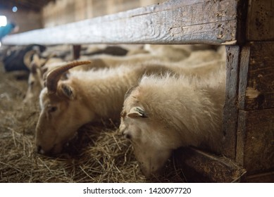 Icelandic sheep are used for meat, milk and also for wool production, in a ranch in Iceland