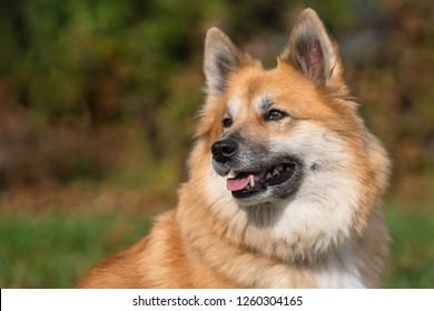 Icelandic sheepdog (6)