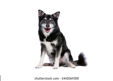 Icelandic Sheepdog in front of a white background