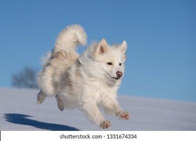 Icelandic sheepdog in the snow