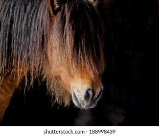 Icelandic Stallion's Cold Breath