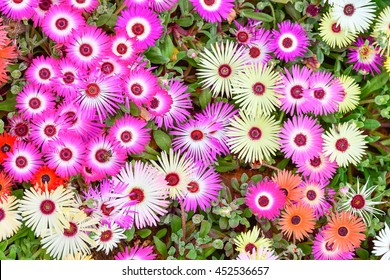 Iceplant daisy presents shocking colorful color. (MESSEMBRYANTHEMUM CRYSTALLIANUM)
