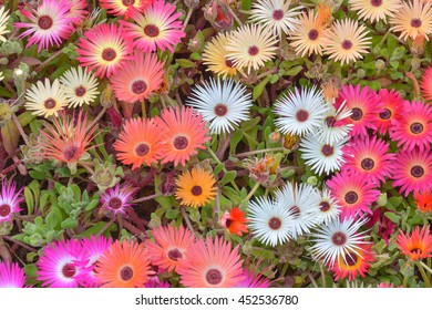 Iceplant daisy presents shokcing colorful color. (MESSEMBRYANTHEMUM CRYSTALLIANUM)