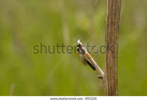 ichneumon wasp - a kind of parasitic wasp. One of many enemies of solitary bees.