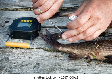 Ichthyological field studies. Fish and device in old table. Weighing, measuring, scaling, taking tissue samples from river fish, study populations and pollution. Grayling (Th. thymallus). Scandinavia