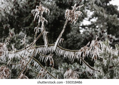 Icicles hang from a drooping branch coated in freezing rain in a northwest winter storm