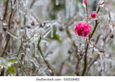 Icicles hang from an ice covered frozen red rose coated in thick freezing rain
