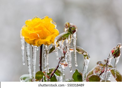 Icicles hang from an ice covered frozen yellow rose coated in thick freezing rain