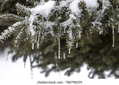 Icicles on Northern Evergreen Tree - Closeup view of icicles hanging from a Maine evergreen tree branch right after a winter frozen rain snow fall.