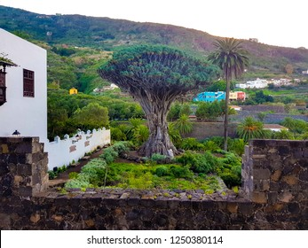 Icod de los Vinos, Tenerife, Spain; December 2, 2018: Image of the millenary drago of Tenerife. View from Casa del Drago.