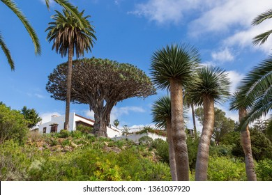 Icod Spain. 03-05-2019. Old millenary  Dragon Tree and Palm Tree at  Icod de los Vinos in Tenerife. Canary Islands. Spain.