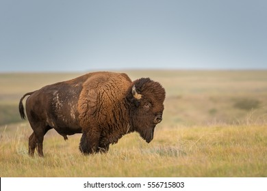 Icon of the prairies - the bison. Grasslands National Park, Saskatchewan