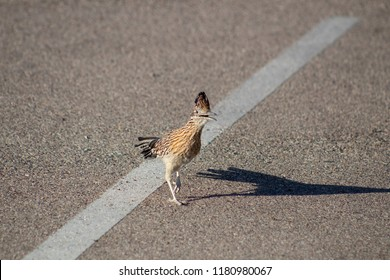 The iconic bird of the American Southwest, the roadrunner in colorful close up photos, in his natural habitat - a road or similar paved surface with pavement. Tucson, Arizona. A Sonoran desert native.