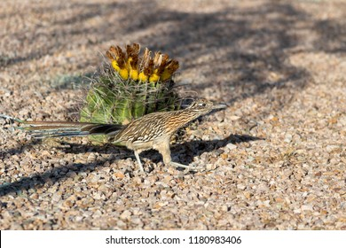 The iconic bird of the American Southwest, the roadrunner in a colorful close up photo, in his natural habitat - a barrel cactus with fruit can be seen. Tucson, Arizona. A Sonoran desert native.
