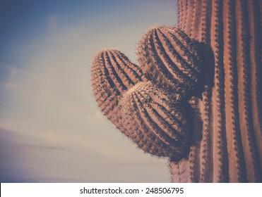 Iconic Cactus tree arms of Saguaro, Scottsdale, Phoenix, AZ