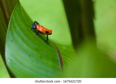 An iconic creature of Central America, the poison dart frog is a beautiful little amphibian of the neotropics.