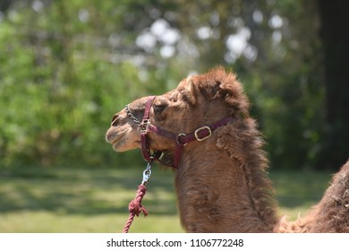Iconic dromedary camel with a halter and a lead.
