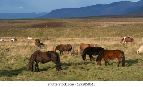 The iconic Icelandic horses grazing on the grass meadows near Hofn, East Iceland.