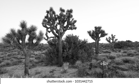 Iconic Joshua Trees in Joshua Tree National Park in black and white