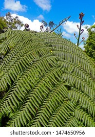 An iconic silver fern at the Waitangi Treaty Ground, New Zealand. The spiral heads of the new growth, or koru, are a powerful symbol in Maori art, emblematic of rebirth, strength and peace.
