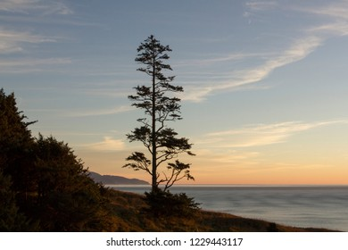The iconic Sitka Spruce tree at Ecola Point on the Oregon Coast at sunset.