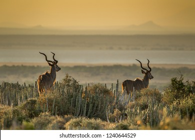 Iconic  South African kudu bulls with impressive horns in late afternoon light on the edge of a large lake in an arid landscape.