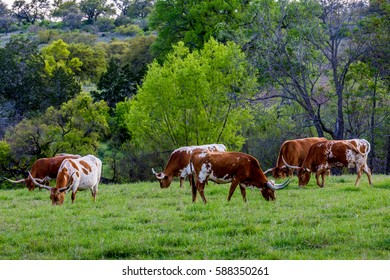 The Iconic Texas Longhorn Cattle Grazing in a Pasture in Texas.
