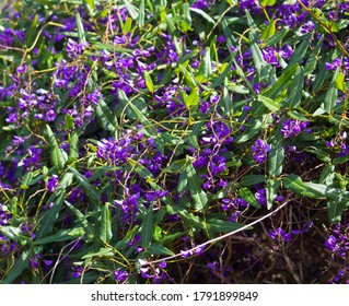 Iconic West Australian purple wild flower creeper Hardenbergia Violaceae  with its weeping habit in glorious bloom in late winter adds color to the bush garden and  park lands.