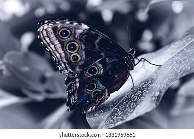 icy blue Butterfly sitting on a black and White leave with blurry White background