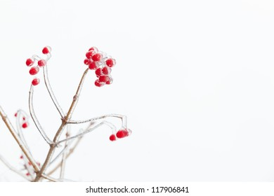 Icy red rowan branch. White background. Free space. Slightly blurred.