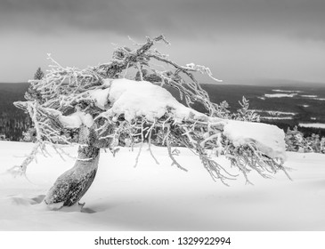 Icy and snowy twisted pine tree on top of a fell in Lapland, Finland on dramatic overcast winter afternoon
