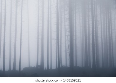 Icy spruce forest in Winter with snow, ice and fog