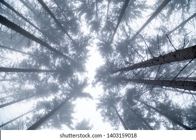 Icy treetops in Winter with snow, ice and fog