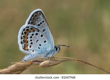 An Idas Blue (Plebejus idas) butterfly perching on a dried plant