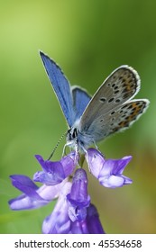 Idas Blue (Plebejus idas) resting on a purple flower