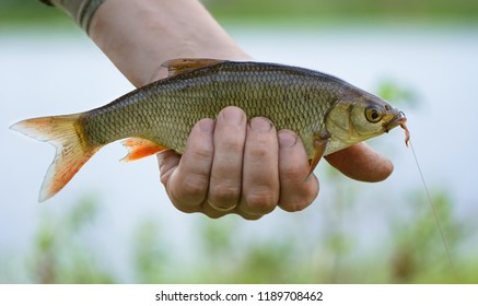 Ide (Leuciscus idus) with a fishhook and a bait in a mouth is on a blurred background. The caught fish is in a fisherman's hand on a bank of a reservoir.