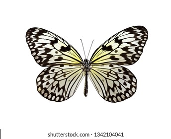Idea leoconone butterfly isolated n white