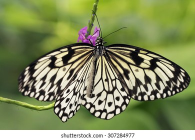 Idea leuconoe butterfly drinking nectar on a purple flower.