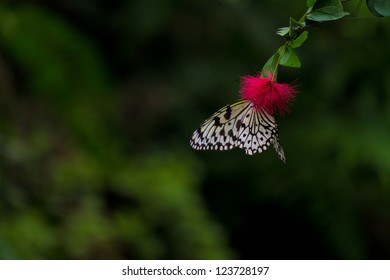 The Idea leuconoe Butterfly also known as Paper Kite, Rice Paper, or Large Tree Nymph butterfly on a red flower at Penang Butterfly Park, Malaysia