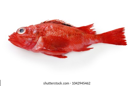 idiot fish isolated on white background