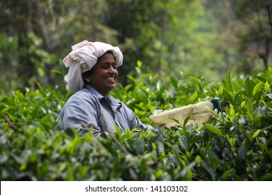 IDUKKI, KERALA, INDIA APRIL 30 - A female tea plantation worker in Kerala's highlands uses a manual tea harvester on April 30, 2013.  The Indian tea industry remains a prime employer in the country.