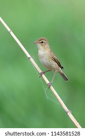 Iduna caligata. The booted Warbler in the bushes in Siberia
