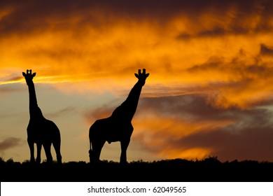 Idyllic african giraffe sunset