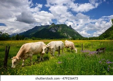 Idyllic Beautiful landscape in the Alps with cows grazing in fresh green meadows with blooming flowers, typical countryside and farm between mountains, Ettal and Oberammergau, Bavaria, Germany