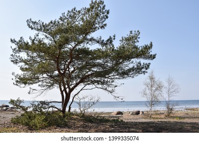 Idyllic coastal view with a big pine tree at the Baltic Sea by the coast of the swedish island Oland