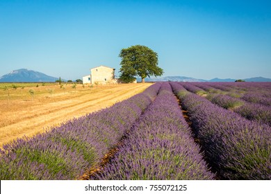 Idyllic country with lavender field and farmhouse near Valensole, Provence, France